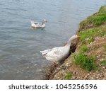 wild geese walking together in... | Shutterstock . vector #1045256596