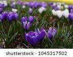 purple and white crocus   Shutterstock . vector #1045317502