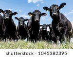 Black Angus Bull And Heifers...