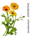 marigold flowers calendula... | Shutterstock . vector #1045387642