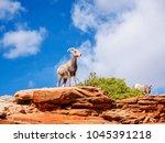 Desert Bighorn Sheep In Zion...
