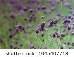 beautiful purple lilac or... | Shutterstock . vector #1045407718