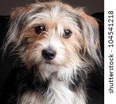 Cute Yorkshire Terrier Puppy