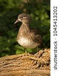 Small photo of Mandarin duck (Aix galericulata) .