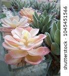 Mini Succulent Plants In Rose...