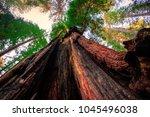 looking up  redwoods national   ...   Shutterstock . vector #1045496038