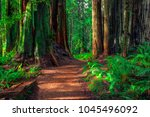 Trail in the Redwoods, Redwoods National & State Parks, California - stock photo