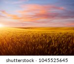 field of yellow wheat in sunset.... | Shutterstock . vector #1045525645