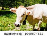 white cow with neck bell... | Shutterstock . vector #1045574632
