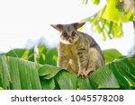 Common Brushtail Possum On...