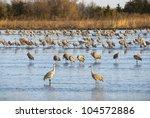 Sandhill Cranes In The Platte...