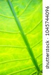 Small photo of A backlight of Alocasia denudata with lines pattern