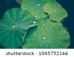 lotus leaves with drops of... | Shutterstock . vector #1045752166