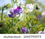 purple flowers of sweet pea ...   Shutterstock . vector #1045795975