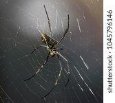 Small photo of A nephila spider