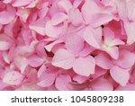 Full Shot Of Pink Hydrangeas