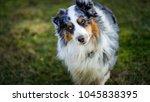 australian shepherd dog | Shutterstock . vector #1045838395