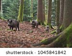 Group Of Wild Boars  Sus Scrof...