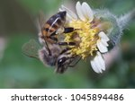Small photo of africanized bee on tiny wildflower