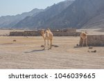 camels wandering around in the... | Shutterstock . vector #1046039665