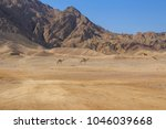 camels wandering around in the... | Shutterstock . vector #1046039668