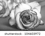 Stock photo black and white rose 104603972