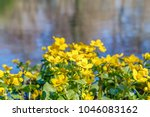 blooming caltha palustris ... | Shutterstock . vector #1046083162