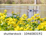 blooming caltha palustris ... | Shutterstock . vector #1046083192