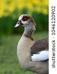 Small photo of Portrait of an Egyptian goose in Saint James's Park in London standing in front of a bed of daffodils (alopochen aegyptiaca)