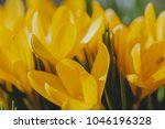 yellow crocus  crocuses or...   Shutterstock . vector #1046196328