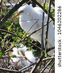 great white egret stands watch...   Shutterstock . vector #1046202286