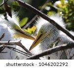 sibling egret babies in bird...   Shutterstock . vector #1046202292