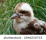 Small photo of Bold Plucky Laughing Kookaburra with Perfect Plumage & a Green Grassy Background.