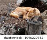 Attractive Sleek Dingo In  Cal...