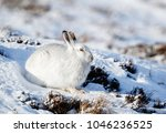 Stock photo white mountain hare lepus timidus these hares are native to the british isles the hares in 1046236525