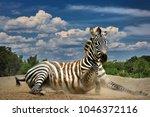 zebra. wild animals on the... | Shutterstock . vector #1046372116