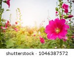 beautiful pink flower hollyhock ... | Shutterstock . vector #1046387572