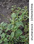 Small photo of Amaranth. Amaranthus. Annual herbaceous plant. Green leaves. Weeds. Field, vegetable garden. Summer. Vertical
