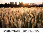 warm afternoon dog tail grass   Shutterstock . vector #1046470222
