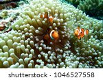 Ocellaris clownfish  clown...
