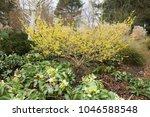 hamamelis x intermedia  'ripe...   Shutterstock . vector #1046588548