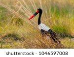 the saddle billed stork ... | Shutterstock . vector #1046597008