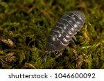 Small photo of Oniscus sp. (Isopoda)