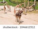 giraffe is earth's tallest... | Shutterstock . vector #1046612512