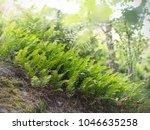 common polypody  polypodium...   Shutterstock . vector #1046635258