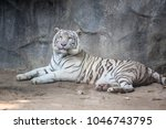 white tiger sleep  at the khao... | Shutterstock . vector #1046743795