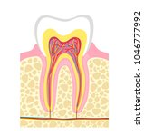 human tooth structure. vector...   Shutterstock .eps vector #1046777992