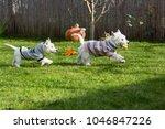 purebred adult west highland... | Shutterstock . vector #1046847226