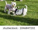 purebred adult west highland... | Shutterstock . vector #1046847232