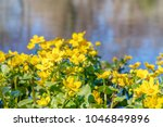 blooming caltha palustris ... | Shutterstock . vector #1046849896